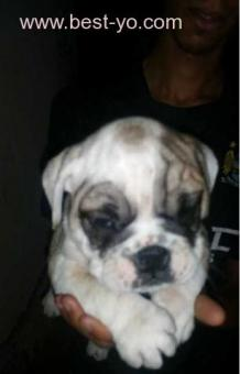 chiot bulldog anglais pure race pedigree