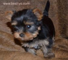 Chiots toye Yorkshire race pure 1 Mois 14 J